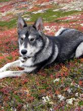 Dog Tsuga.png