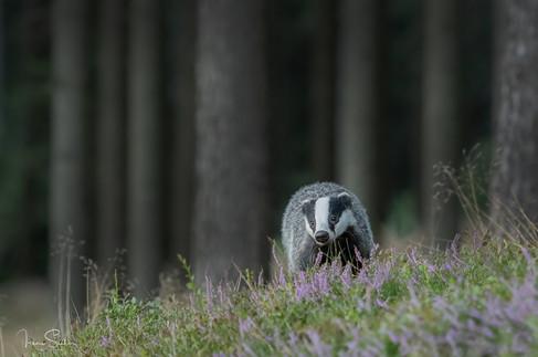 hello badger