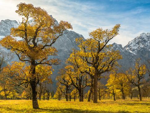 maple trees / Ahorn im Herbst