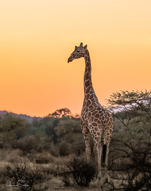 reticulated giraffe / Netzgiraffe