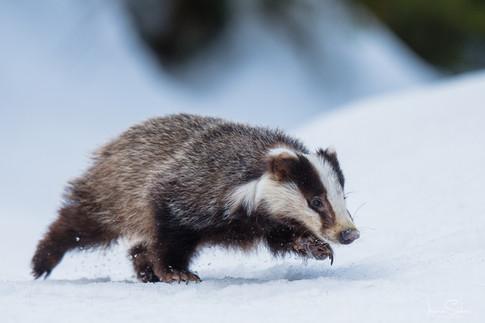 the running badger