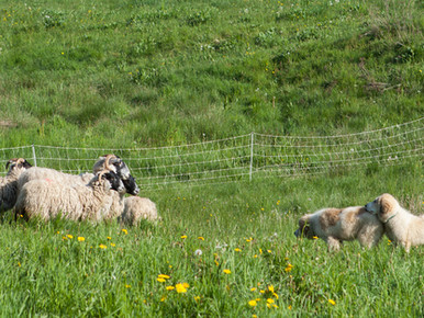 CANTAL : Formation intégrer un chien de protection dans son troupeau - Octobre 2021