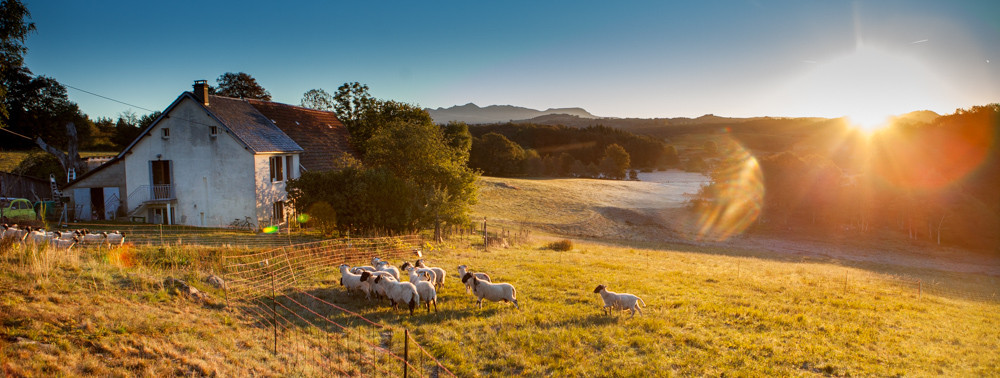 Agnelles et agneaux