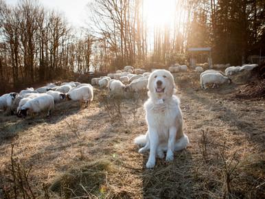 Campagne nationale de recensement des chiens de protection des troupeaux