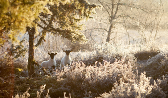 Les agneaux des bruyères