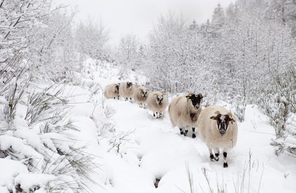 Brebis in the snow