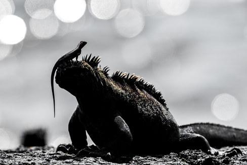 Marine Iguana, the Galapagos