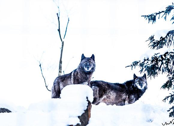 """Hokkaidoの狼 (16""""x24"""")"""