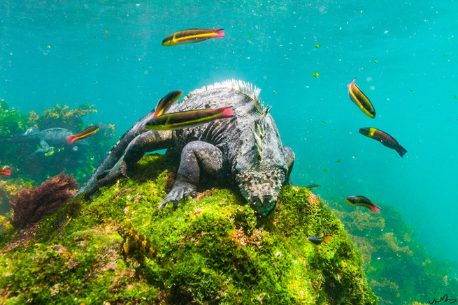 Marine Iguana, the Galapagos