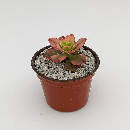 """Aeonium haworthii 'kiwi' 3"""""""