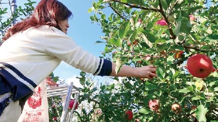 今が旬!りんご狩り1kg540円〜(入場無料)/荒牧りんご園