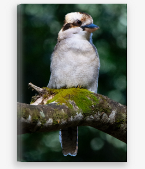Kookaburra Green Portrait