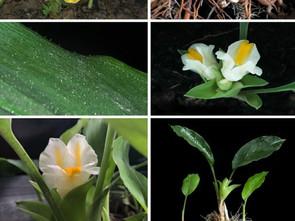 นักวิชาการไทย ค้นพบพืชวงศ์ขิง 8 ชนิดใหม่ของโลก และรายงานครั้งแรกในไทยอีก 1 ชนิด