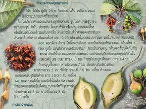'มะซาง' พืชสุดยอดแห่งนานาประโยชน์ 🌿