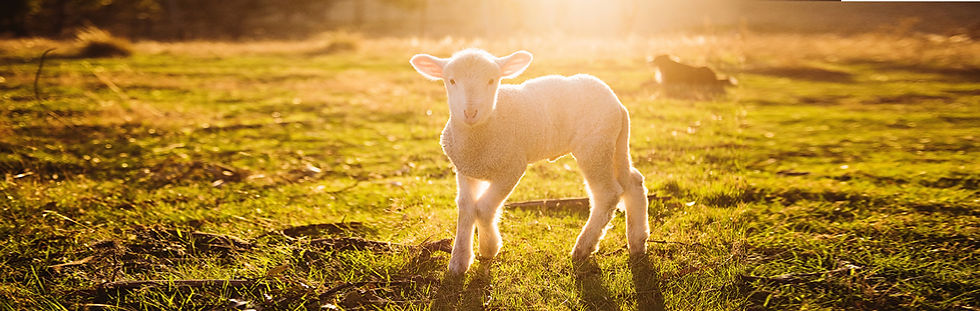 Sheep Banner 3.jpg