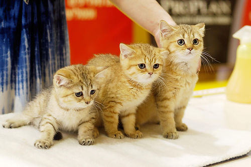 Международная выставка кошек «Жемчужина лета»