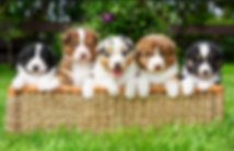 Mobile Microchipping pups