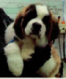 Bernie the Saint Bernard puppy