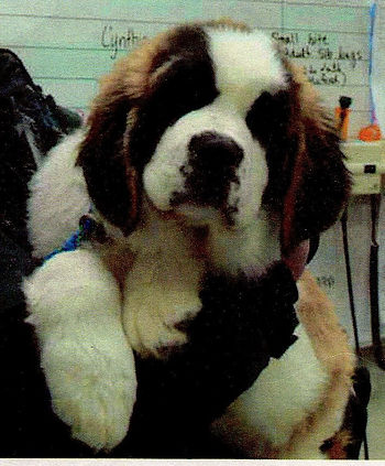 Bernie the Saint Bernard puppy