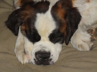 Bernie the Saint Bernard having a nap