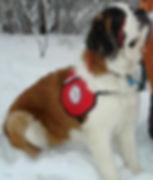 Bernie the Saint Bernard in the snow