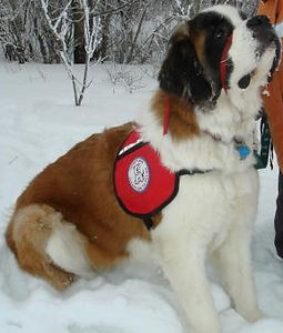 Bernie the Saint Bernard in the snow