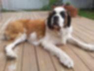 Bernie the Saint Bernard on the deck
