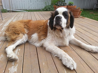 Bernie the Saint Bernard on the deck