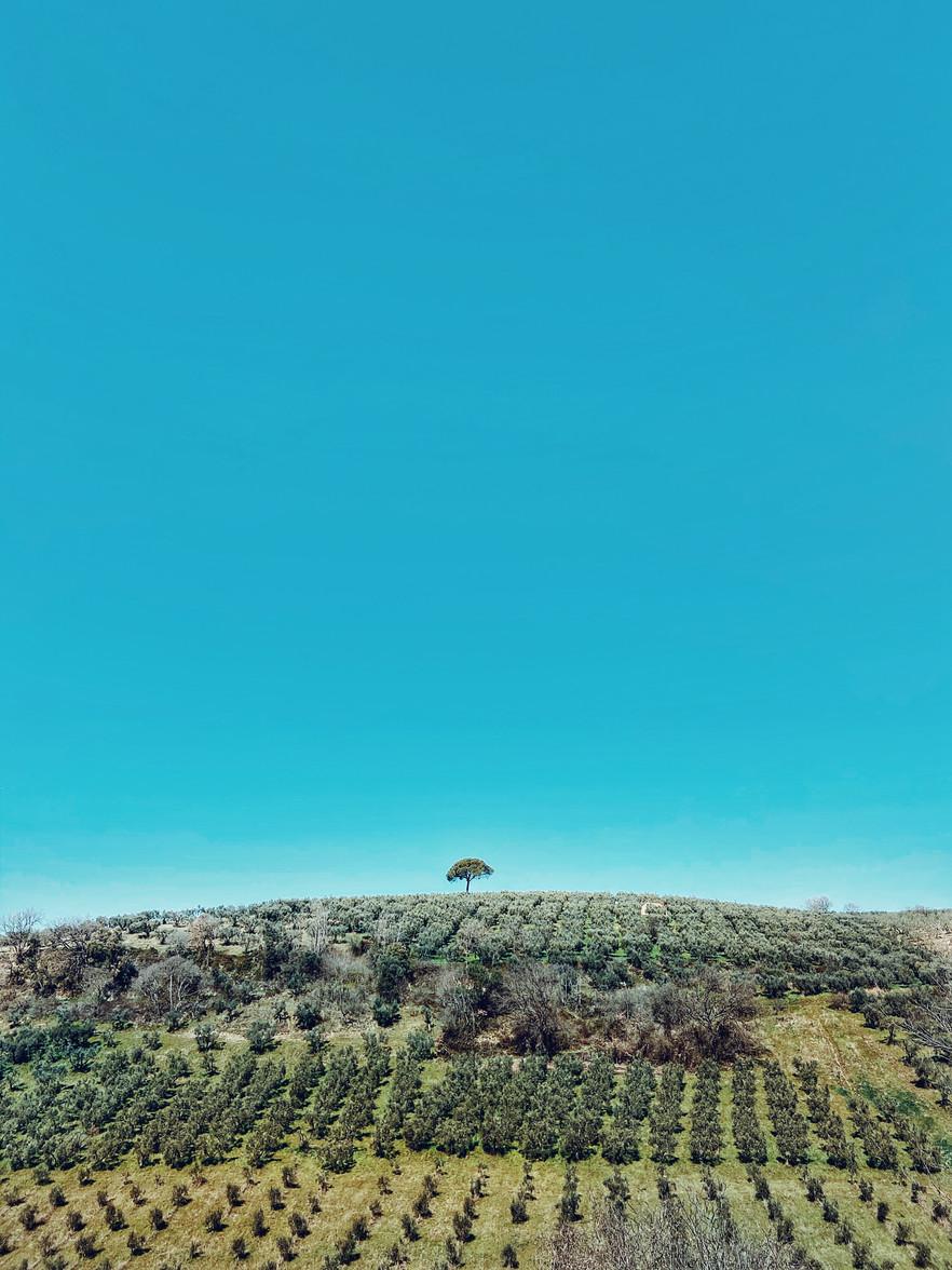 ulivi in sabina