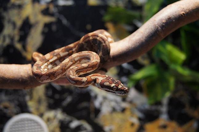 Morelia Morphology UK Pythons
