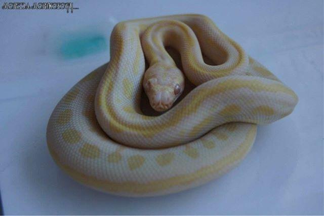 Our Worlds First Tiger Albino__#moreliamorphology #reptilesofig #reptiles #reptile #morelia #pythons