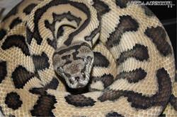 #moreliamorphology #reptilesofig #reptiles #reptile #morelia #pythons #snake #snakes #snakesofinstag
