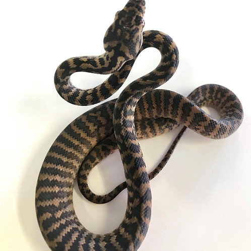 2018 Zebra dbl Het Snow Female
