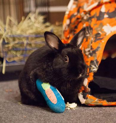 Fraturas em coelhos: como ajudar