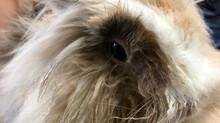 Obstrução do ducto nasolacrimal em coelhos