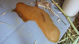 Coelhos: Alterações na cor da urina