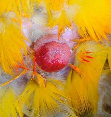 Aves: Prolapso de cloaca