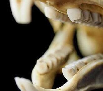 Problemas dentários em coelhos e roedores - Saiba mais...
