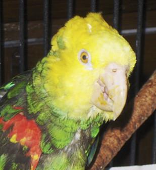 Papagaio Poncho, com aproximadamente 82 anos