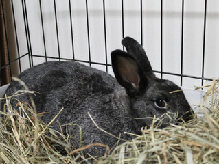 Coccidiose em coelhos - Uma doença que pode ser fatal e de difícil diagnóstico.