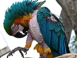 Automutilação e a destruição das penas em relação a dieta das aves – A relação entre Intestino e Com