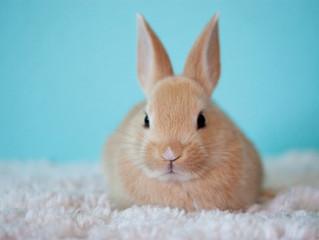 Razões para castrar coelhos