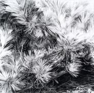 Scrub Pine