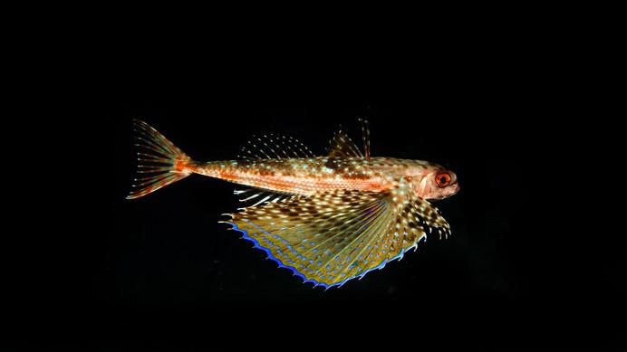 Flying gurnard in the dark