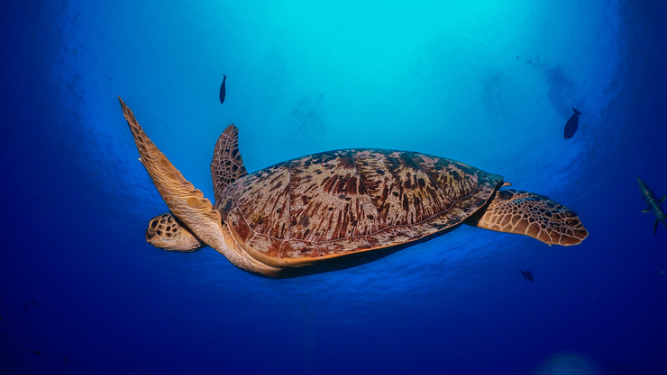 Listed as endangered by the IUCN Red List, Green Turtles ('Chelonia mydas') graze on seagrasses and algae, which maintains the seagrass beds and makes them more productive. Seagrass beds also function as nurseries for several species of invertebrates and fish, many of which are of considerable value to commercial fisheries and therefore important to human food security. They are threatened by overharvesting of their eggs, hunting of adults, being caught in fishing gear and loss of nesting beach sites.
