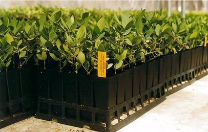 Jojoba plants
