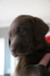Labrador Puppy Breeders and Sales
