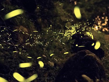 Lampyridae // Chloe N. Clark