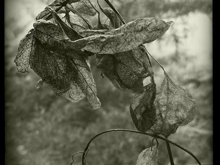 Invasive Dead Leaf // Juliet Cook