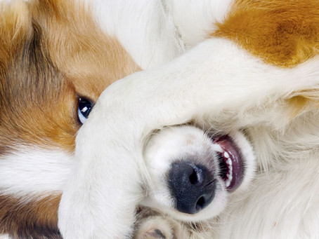 Raser votre chien en prévision de la chaleur, une VRAIE FAUSSE bonne idée.